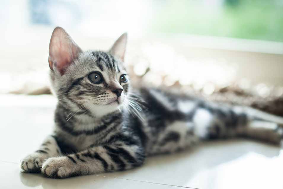How Much Does a Purebred Cat Cost | Pet Friendly House