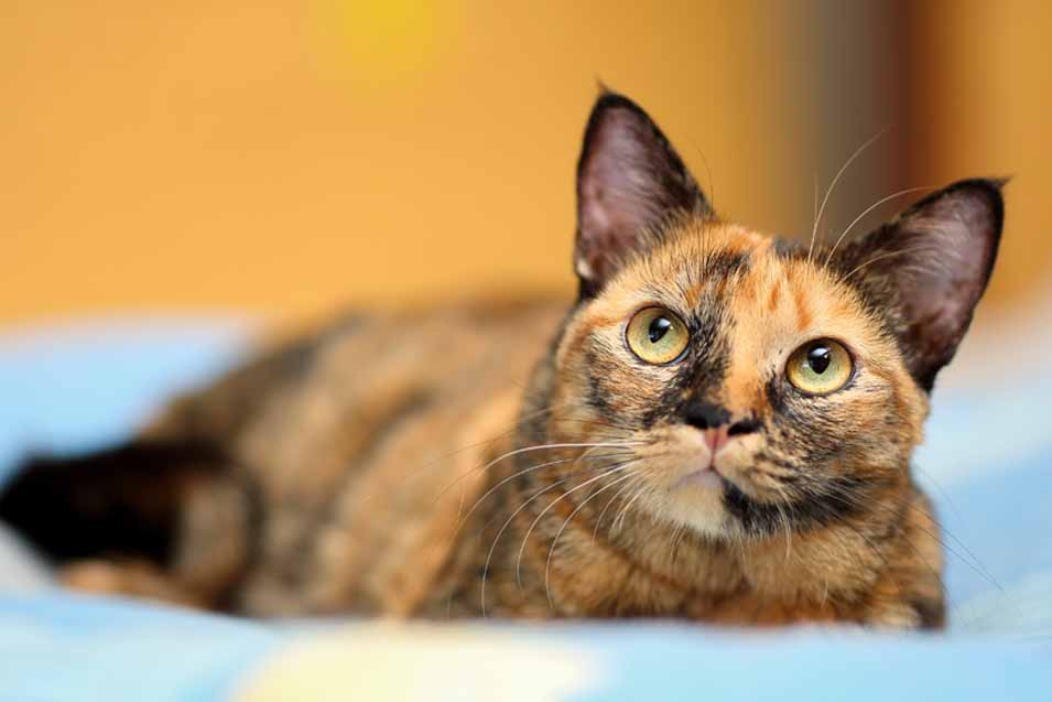 Picture of a cat with dichromatic eyes