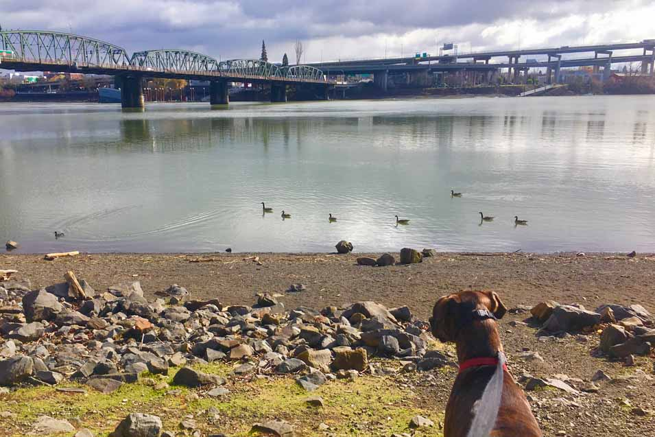 Dog looking at ducks near the Portland bridg