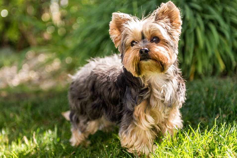 Picture of a Yorkshire Terrier in the yard