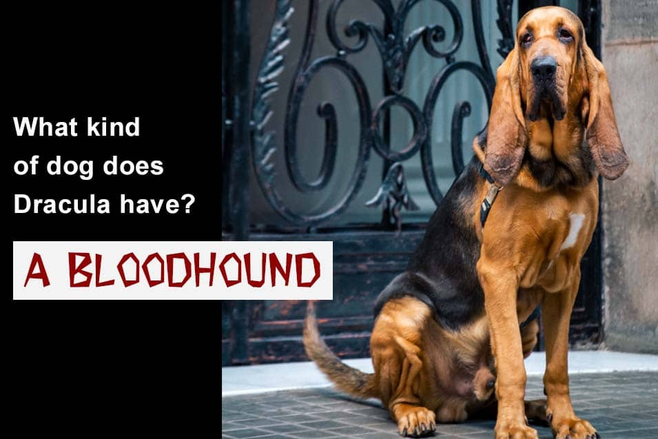 Picture of a bloodhound