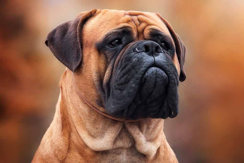 Picture of a Bullmastiff