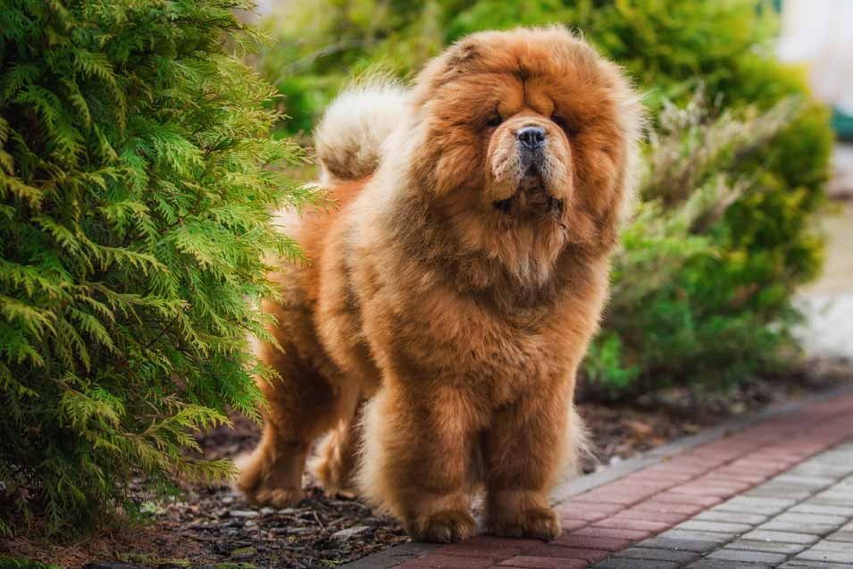 Picture of a Chow Chow