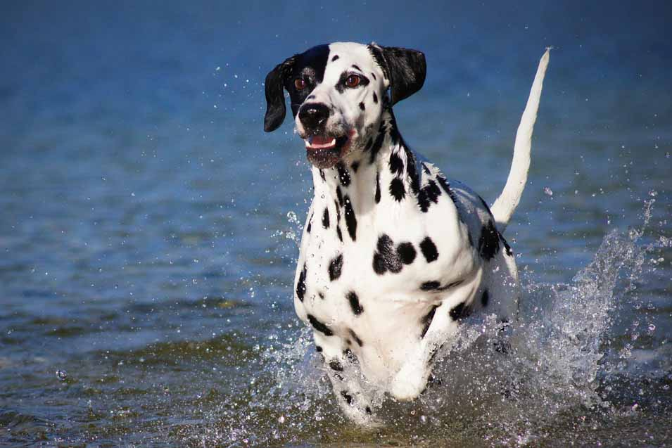 Picture of a Dalmatian in water