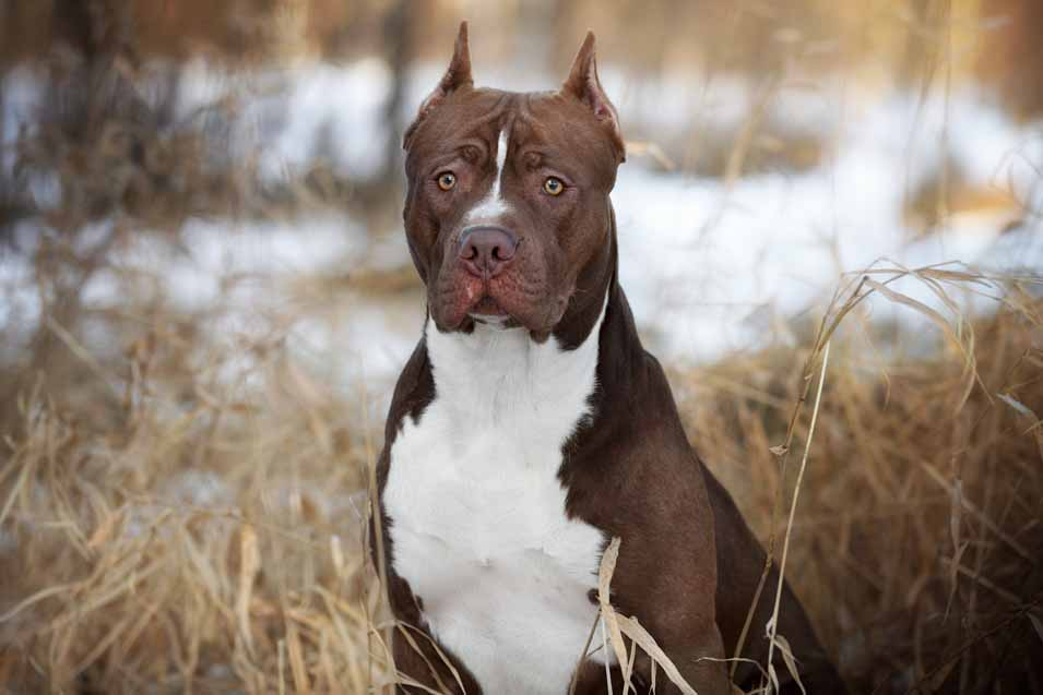 Picture of a Pit Bull Terrier