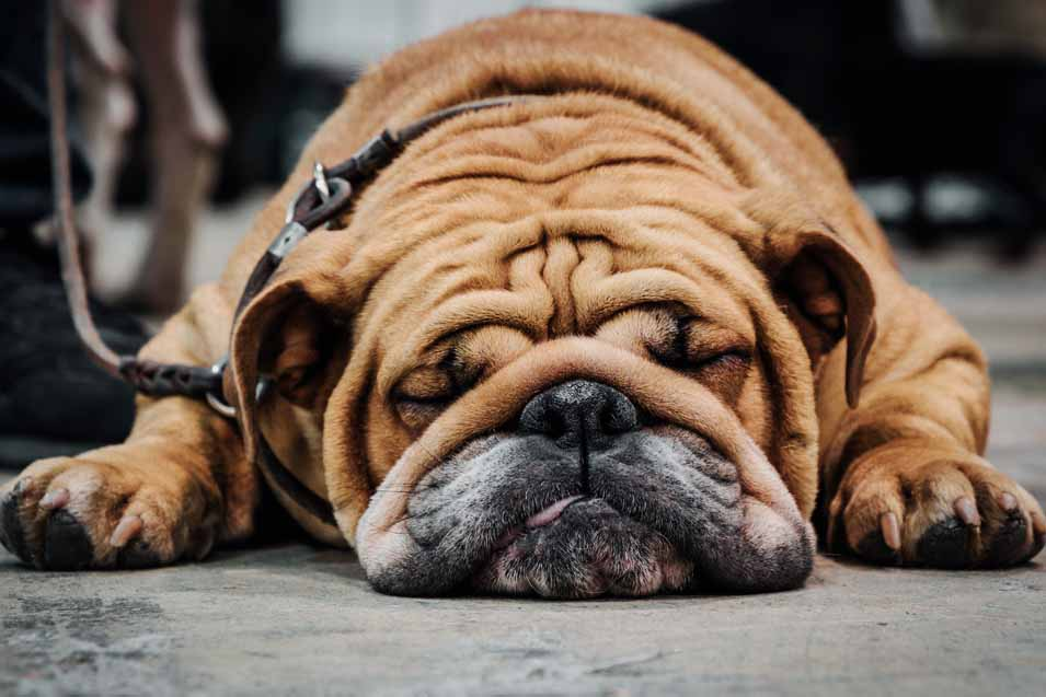 Picture of an English Bulldog