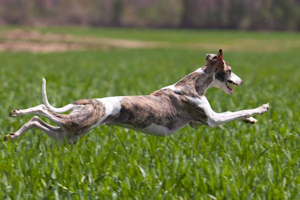 Picture of a Whippet running at full speed