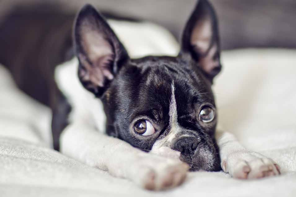 Picture of a Boston Terrier on a Bed