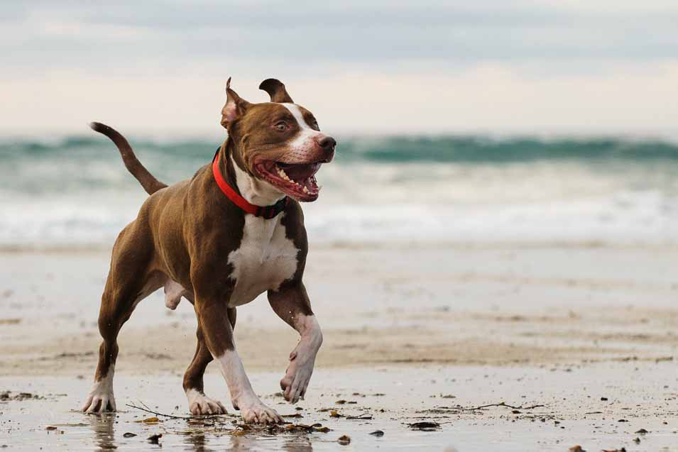 Picture of a Pit Bull