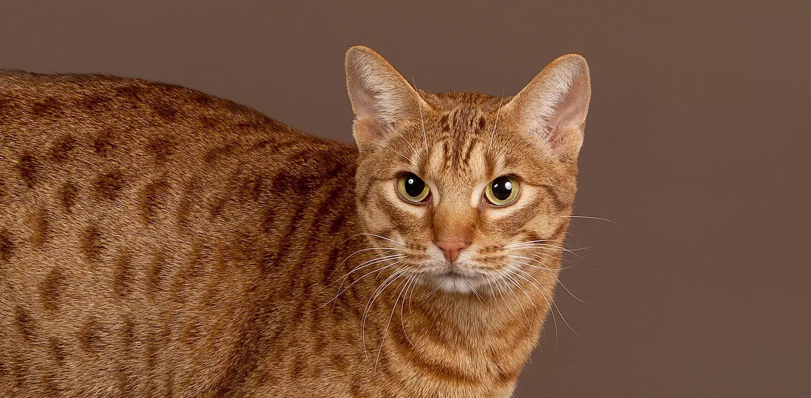 5 Things To Know About Ocicats