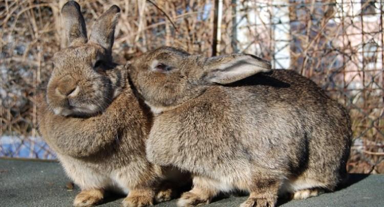 Kaninchen können bei richtiger Pflege große Haustiere sein.  Durch: