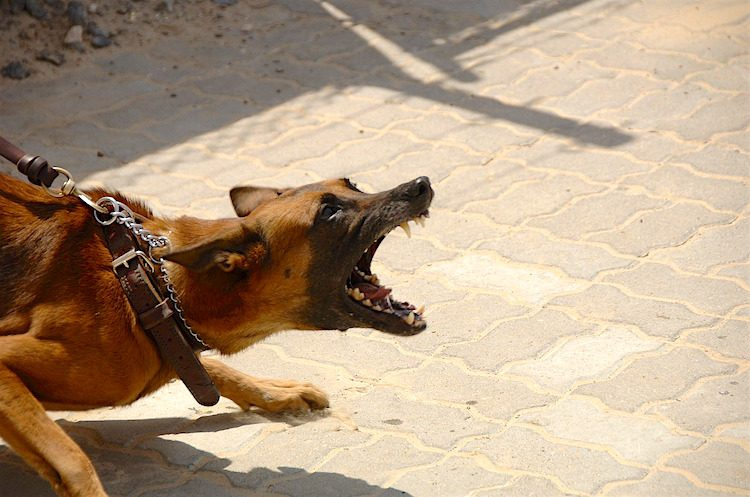Photo of a German Shepherd-type dog on a leash baring teeth