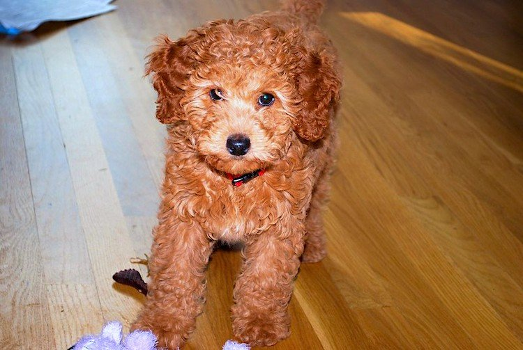 Photo of a cute Labradoodle puppy (Health problems in Labradoodles)