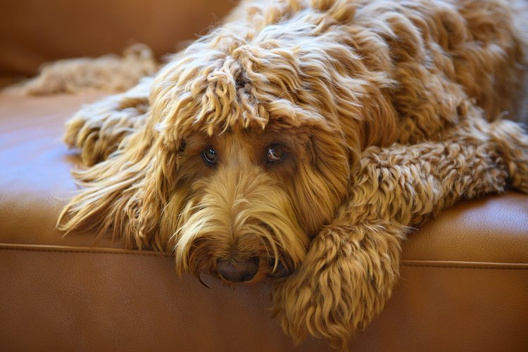 Health Problems in Labradoodles