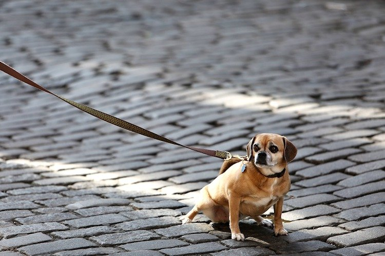 Photo of a Pug-like dog on a long leash on a cobblestone street