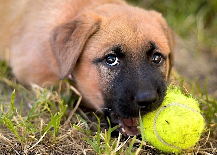 Photo of a really cute puppy with a tennis ball in their mouth