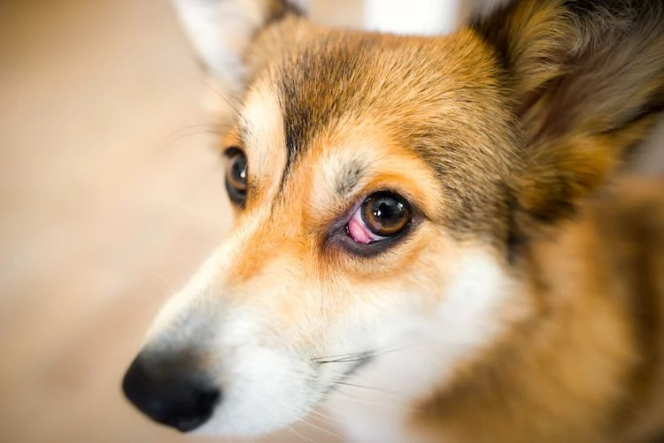 """Photo of Welsh corgi pembroke dog with nictitans gland prolapse or """"cherry eye"""" in right eye, dog with an eye problem"""
