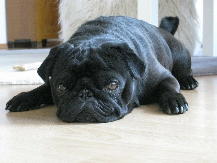 Photo of black smush-faced dog lying down on floor.