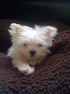 """My little Maltese """"Falcon"""" died unnecessarily do to veterinary mistakes, misdiagnosis and neglectful care"""