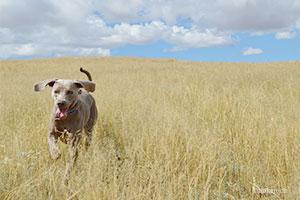 Dog running through field