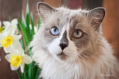 Ragdoll with flowers