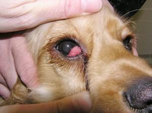canine eye diagram right 2006 club car precedent battery wiring cherry in dogs beagle