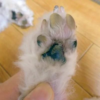 犬の趾間膿皮症