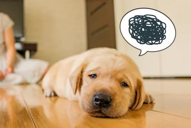 犬の折れ耳にマラセチア症は発症しやすい