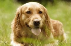 黒い耳垢が大量に発生する犬の耳マラセチア