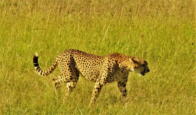 猫族チーターの狩り