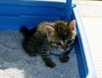 猫にトイレを覚えさせる方法