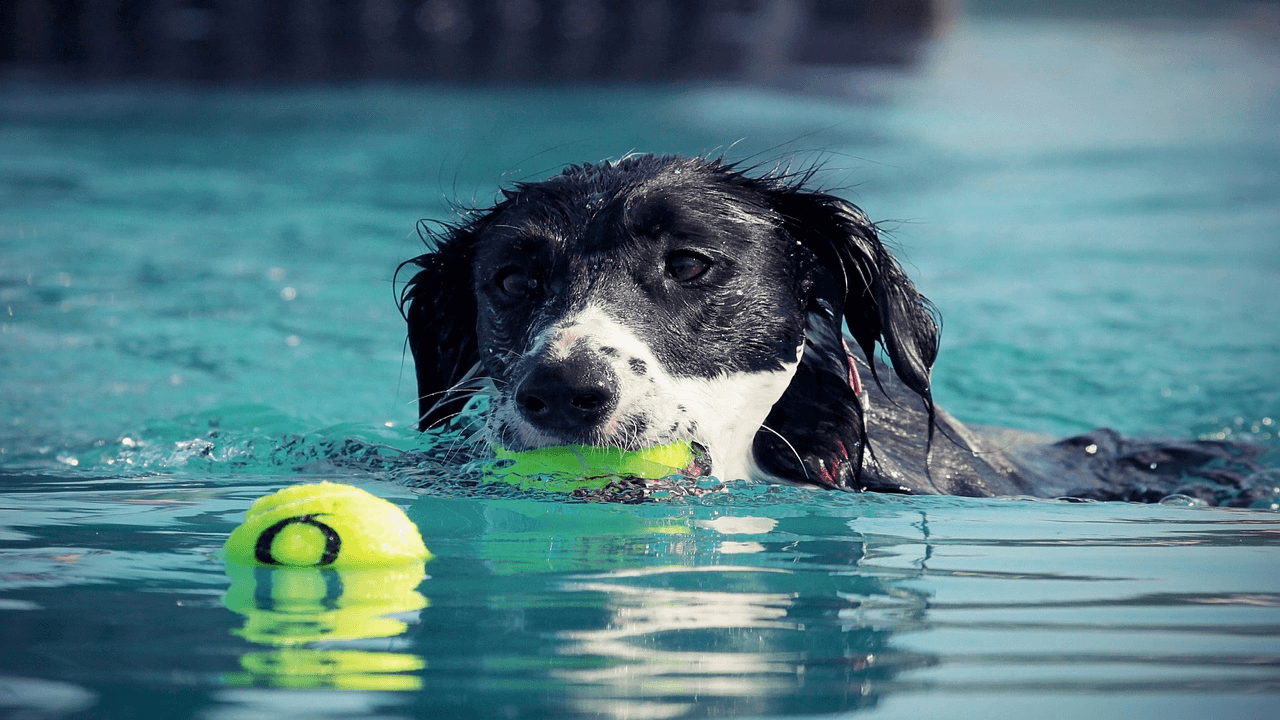 プールがボール遊びする犬