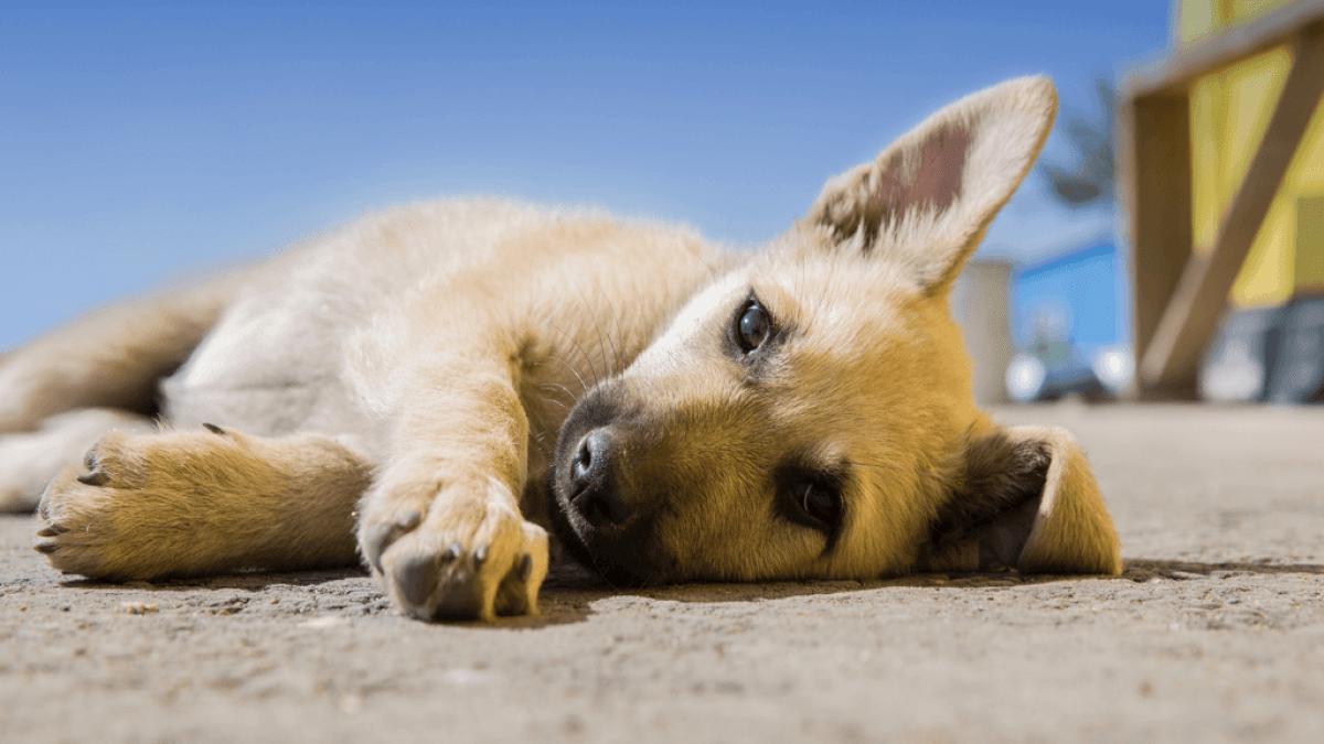 暑さにうなだれ横たわる子犬