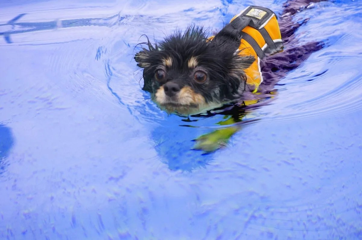 犬 ライフジャケット 泳ぐ