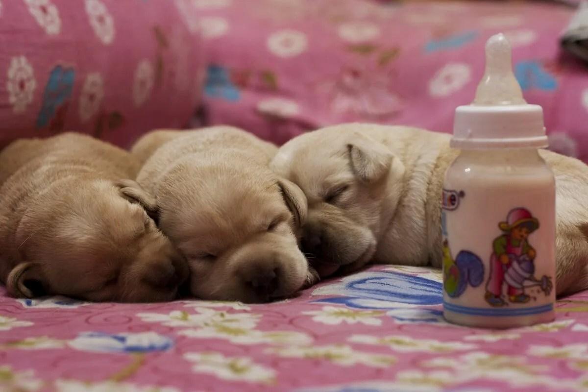 哺乳瓶の前で寄り添いながら眠っている子犬たち