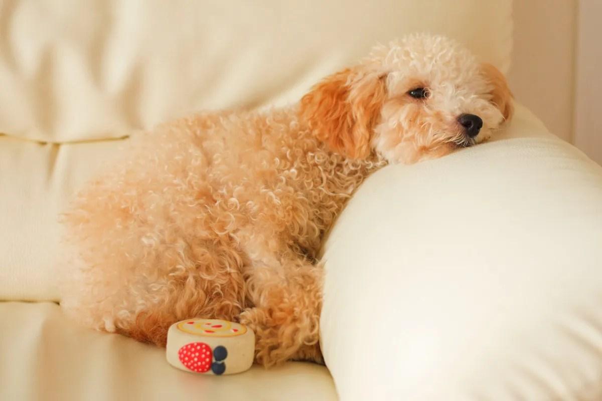 犬 ソファー 眠い