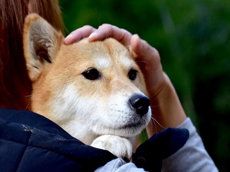犬 柴犬 抱っこ