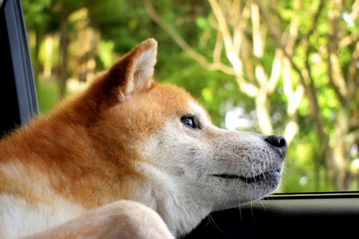 犬 ドライブ 車