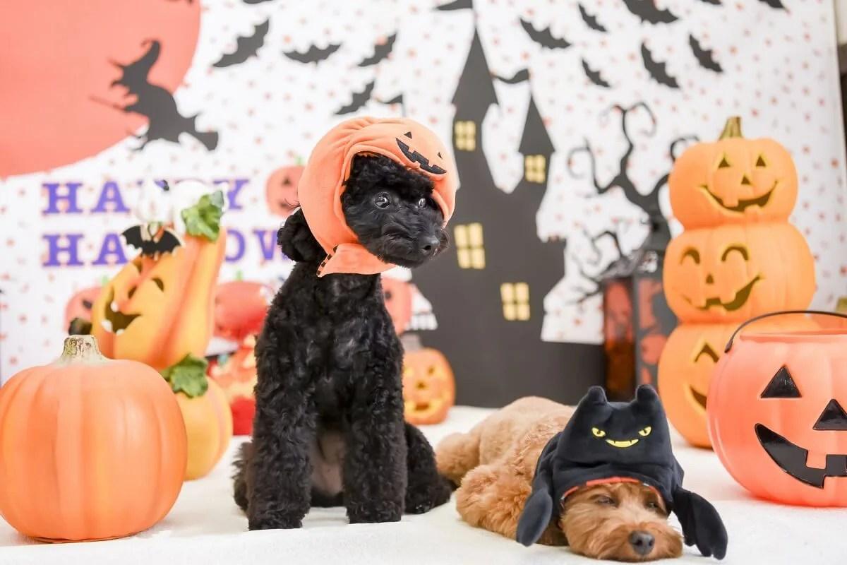 ハロウィンの仮装をする犬