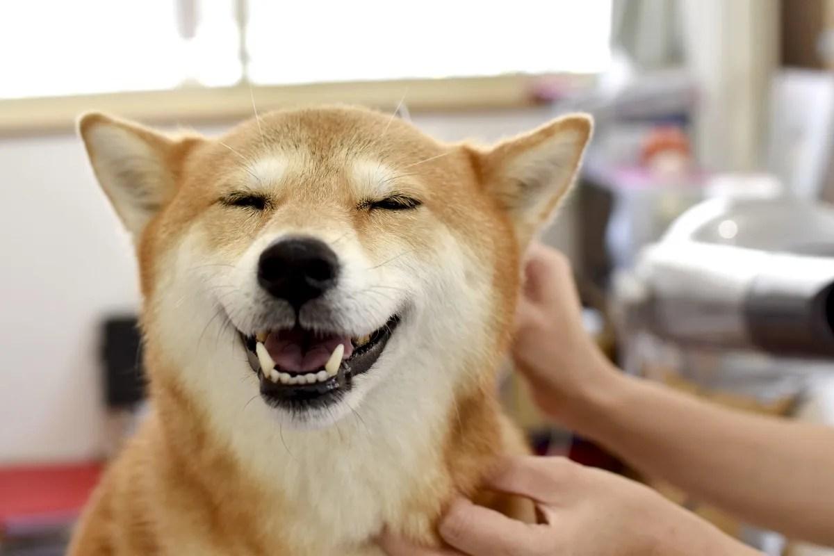 笑顔でトリミングされている柴犬