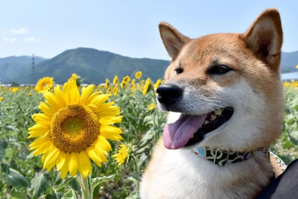 犬とひまわり
