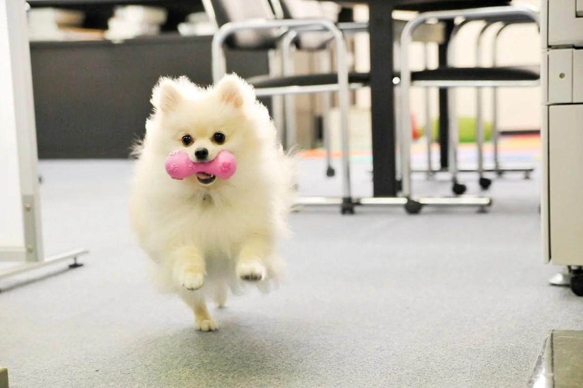 走っておもちゃを持ってくる犬