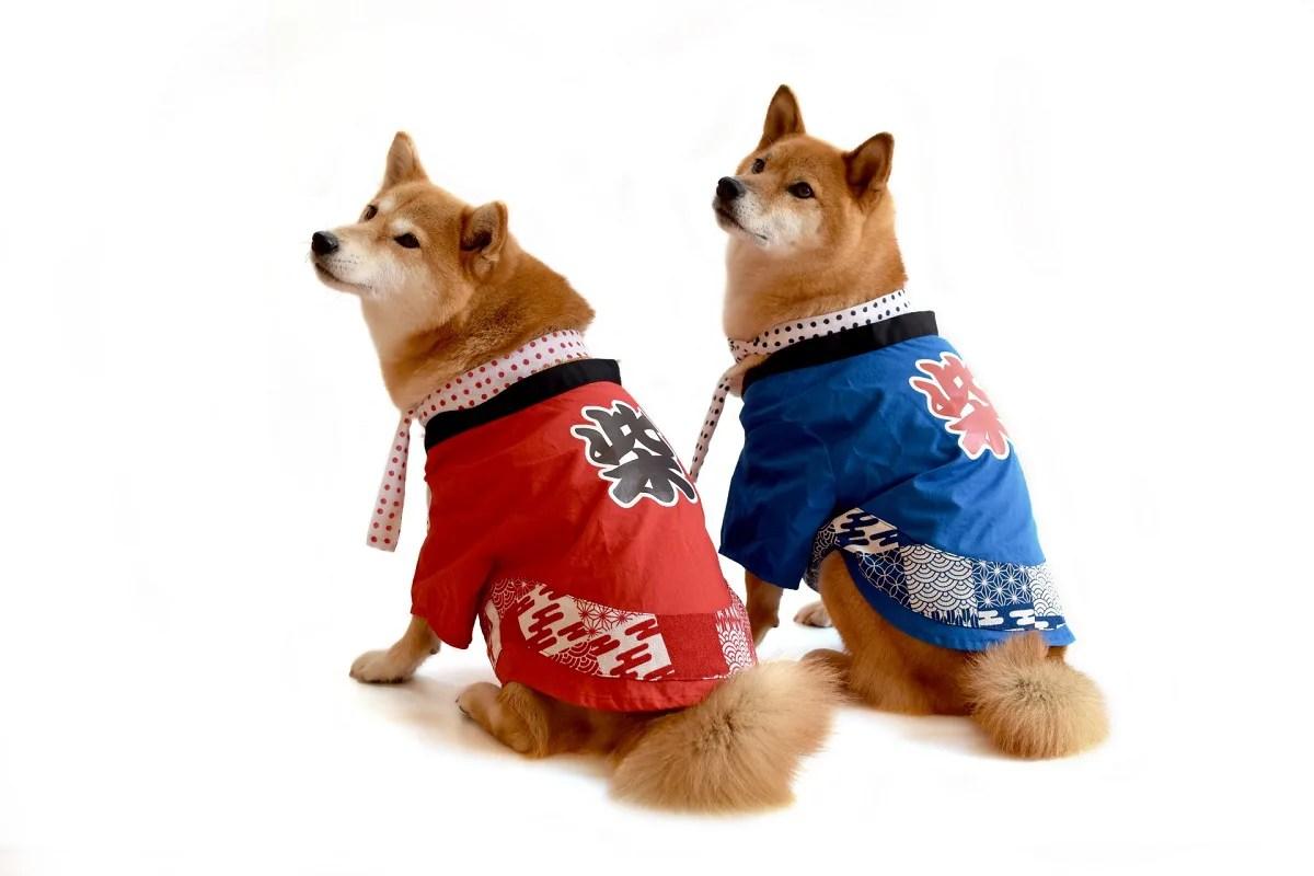 はっぴを着ている柴犬二匹