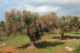 Una nuova soluzione per sconfiggere Xylella: gli ulivi pugliesi non dovranno essere più eradicati
