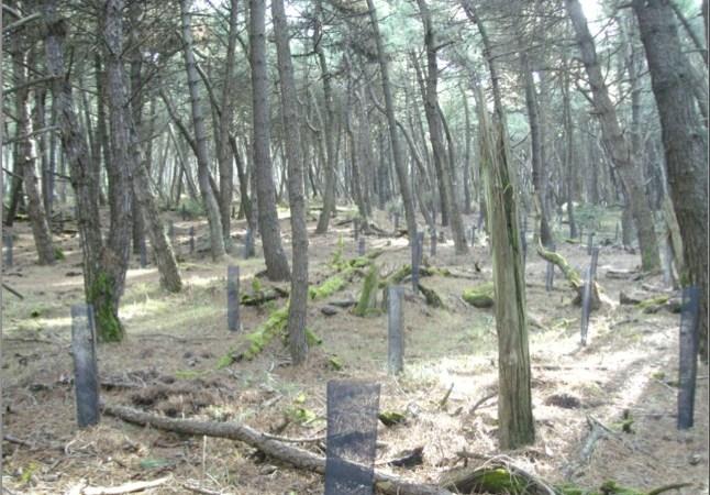 Taglia sei metri cubi di alberi di pino marittimo un arresto
