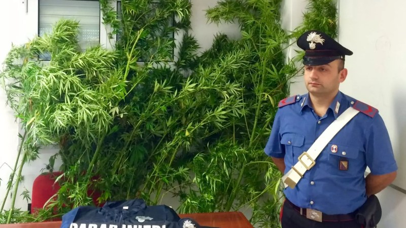 Marijuana e armi tra i vitigni di Gaglioppo