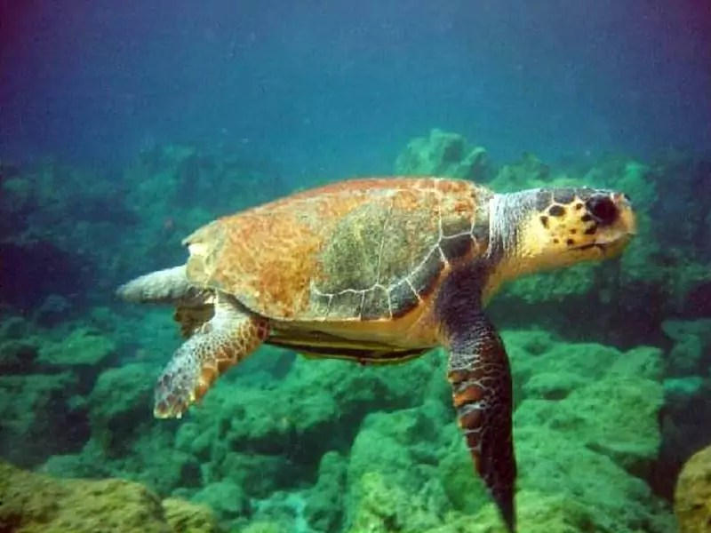 Riprende a nuotare libera in mare la tartaruga Federica
