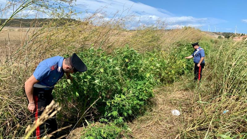 Scoperta piantagione di marijuana a Isola: due arresti