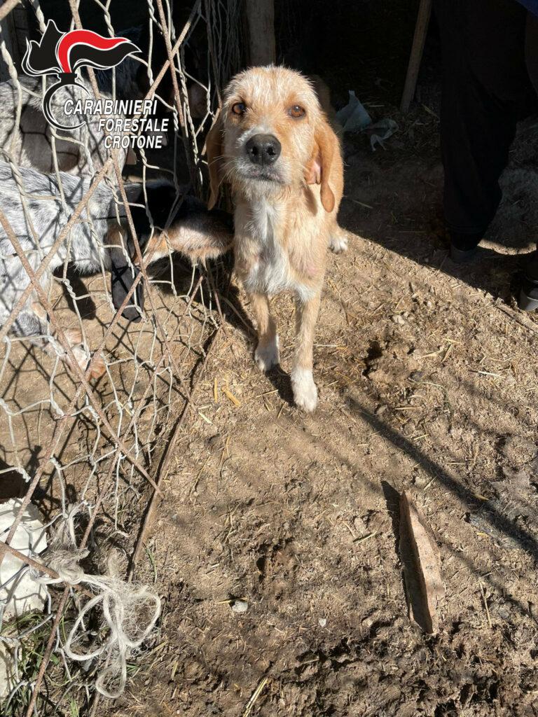 Cani e suini tenuti in cattive condizioni: denunciato allevatore