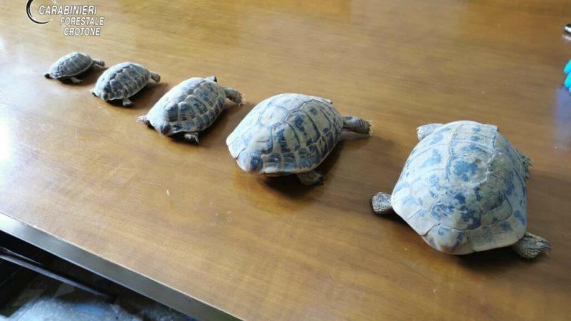 Trovate 5 testuggini detenute illegalmente durante un controllo dei Carabinieri